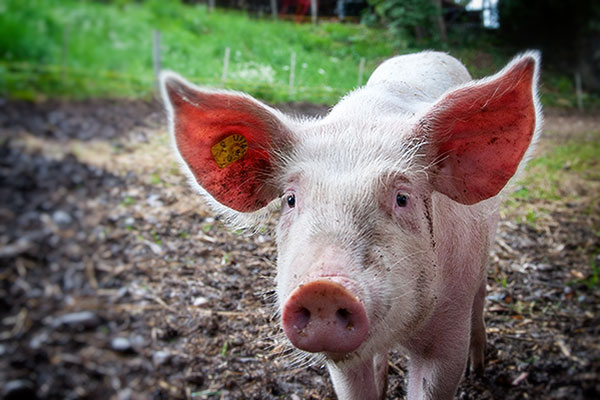 What-I-Learned-from-Arguing-with-a-Pig-Farmer